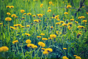 Dandelion lawn. Natural floral background