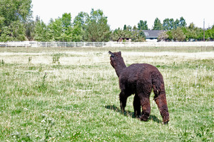 Dark Brown Alpaca