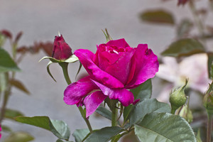 Dark Pink Rose Flower