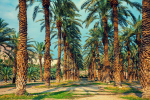 Date palm trees plantation