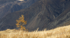 Tree with yellow leaves in a golden field at the base of a mountain