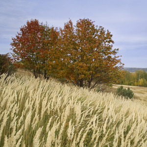 Golden trees and tall grass in autumn