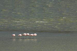 Flock of flamingos standing on one leg in sunlit waters