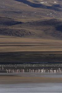 Flock of flamingos feeding in sunlit waters