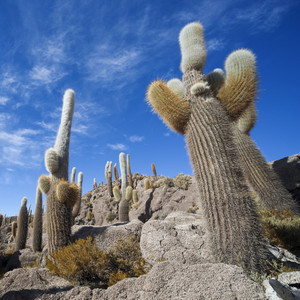Tall cacti growing under a blue sky