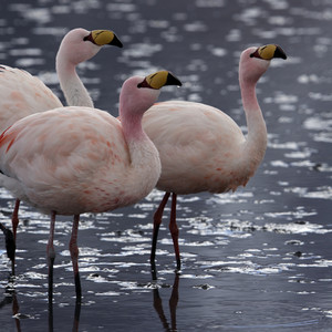 Close up of a flock of pink flamingos in sunlit water