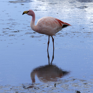 Close up of a pink flamingo reflected in sunlit water
