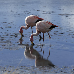 Close up of pink flamingos reflected in sunlit water