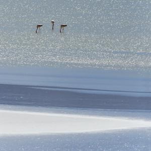 Flock of pink flamingos feeding in sunlit water
