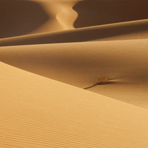 Lone, dry bush growing in vast sand dunes in the desert