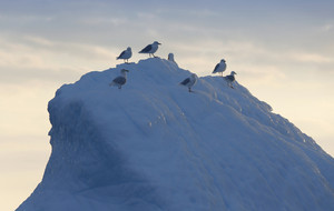 Flock of birds perched on an iceberg at dusk