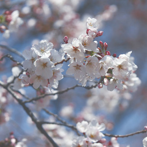 Close up of white cherry blossoms