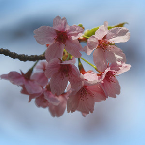 Close up of pink cherry blossoms