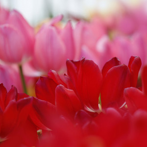 Close up of pink and red tulip flowers