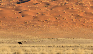 Ostrich under a large sand dune