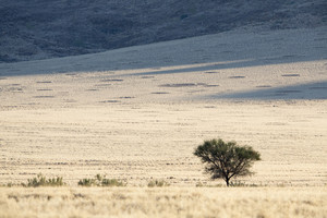 Lone tree growing on the vast savanna