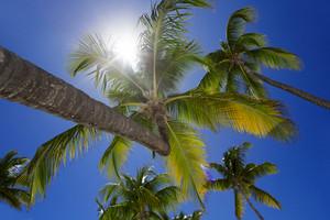 Sunlit palm trees seen from below