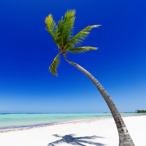 Palm tree on a white sand beach