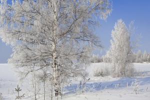 Trees buried under heavy snowfall at dawn