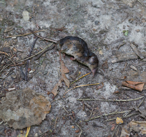 Dead body of shrew lying on forest path. Dead rodent body.