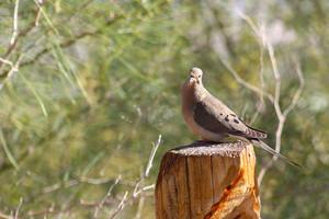 Desert Dove
