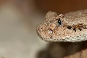 Desert Snake Head
