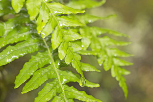 Dew Fresh Leaf