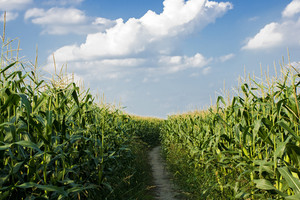Dirt Road Among Corn