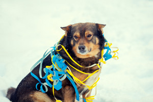 Dog entangled in colorful streamer on the snow