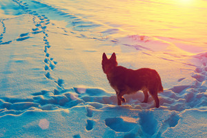 Dog gazing at footprins on the snow at sunset