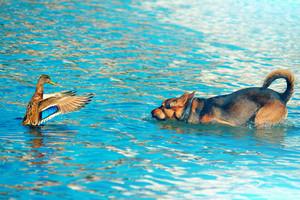 Dog hunting wild duck in lake