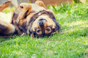 Dog lying on the back on the grass