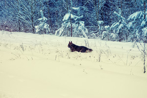 Dog running in deep snow at the forest edge
