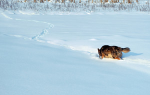 Dog running in the deep snow