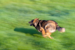 Dog running on the grass. Motion effect