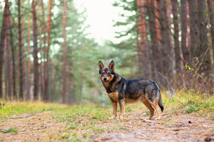 Dog staying in pine forest in autumn