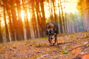 Dog walking in pine forest in autumn