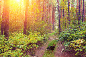 Dog walking in the forest at sunset