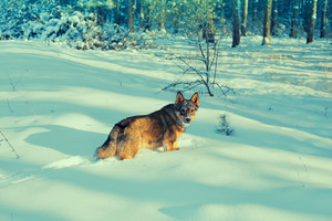 Dog walking in the snowy forest