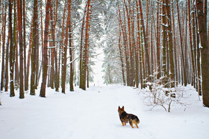 Dog walking in the snowy pine forest
