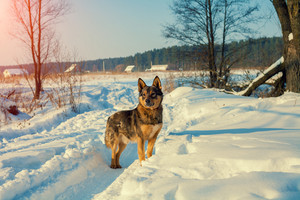 Dog walking in the snowy road