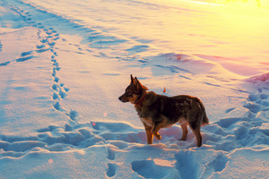 Dog walking on a snowy field at sunset