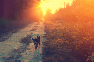 Dog walking on the dirt road at sunset
