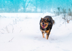 Dog walking on the snow in winter