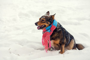 Dog wearing scarf walking outdoor in winter