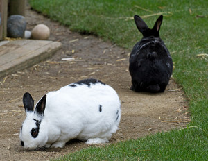 Domestic Rabbits