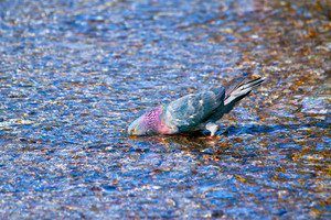 Dove drinking water from lake
