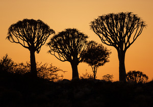 Dragon blood trees silhouetted at sunset