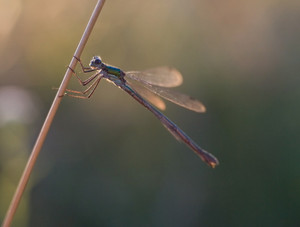 Dragonfly sitting on a plant at sunset