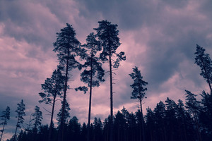 Dramatic sunset. Tall pine trees at sunset cloudy sky